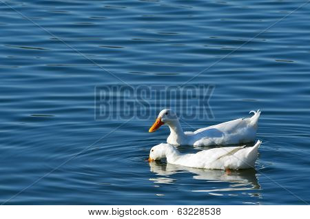 White Ducks Swimming in the Pond