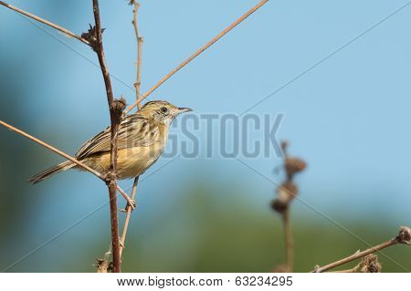 Zitting Cisticola (cisticola Juncidis) On A Slender Branch