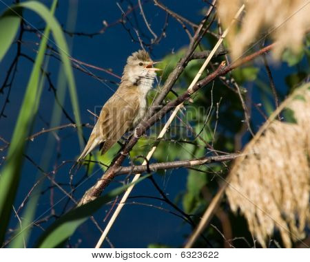 Acrocephalus Arundinaceus, Great Reed Warbler