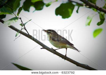 Acrocephalus Schoenobaenus, Sedge Warbler
