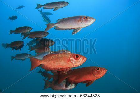 Common Bigeye Fish