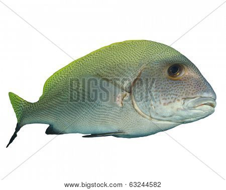 Sweetlips fish isolated on white background