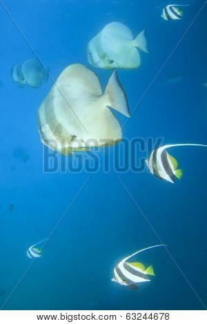 Spadefish (Batfish) and Bannerfish in Ocean