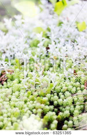 sedum, ground cover plant