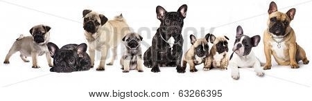 Group of French Bulldogs and pug  in front of white background