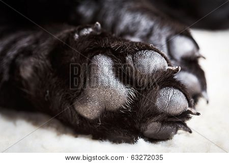 Dog Labrador Paw With Pads
