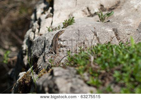 The Lizard Is On Rock
