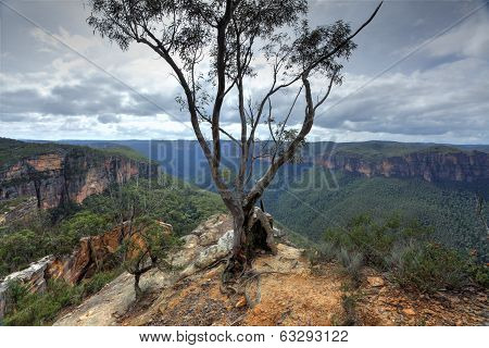 Magnificent Gum Tree At  Burramoki Headland Overlooking Grose Valley Australia