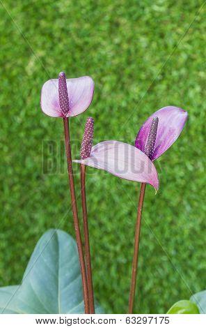 Violet Anthurium Flower In Botanic Garden