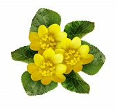 picture of celandine  - Lesser celandine isolated on a white background - JPG
