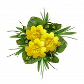 foto of celandine  - Lesser celandine flowers on a white background - JPG