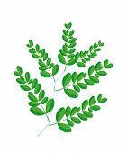 picture of moringa  - Vegetable and Herb Fresh Fresh Moringa Leaves are Rich in Protein Vitamin A Vitamin B Vitamin C and Minerals - JPG