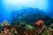 stock photo of bigeye  - Coral Reef and School of Bigeye Jacks  - JPG