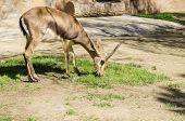 foto of fynbos  - A young bontebok eating grass - JPG