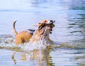 Swiming Beagle