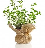 fresh vegetable oregano herb growing in brown terracotta pot isolated on white background