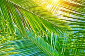 Fresh green palm leaves background, bright sun light through exotic foliage, beauty of tropical natu