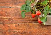 Potted strawberry on wooden background