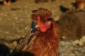 foto of hen house  - red chicken with a cop in a sunny day in a hen house - JPG