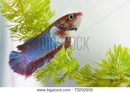 Colorful siamese fighting fish in aquarium water