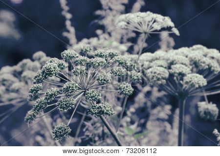 Dill Flower Umbels Background