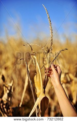 Cornfield Harvest In Autumn