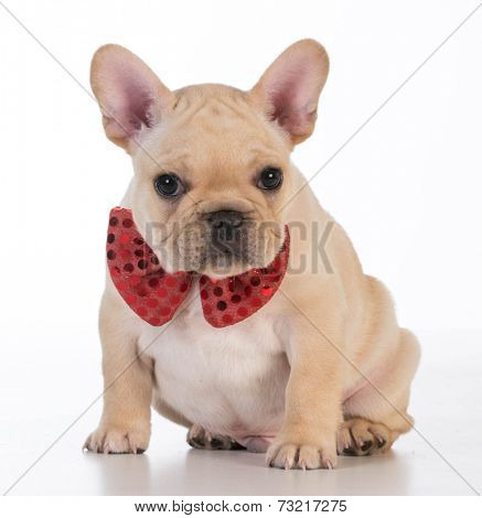 french bulldog wearing red bowtie looking at viewer on white background