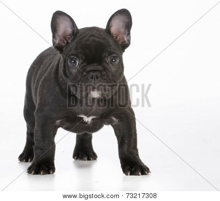 french bulldog puppy standing looking at viewer on white background