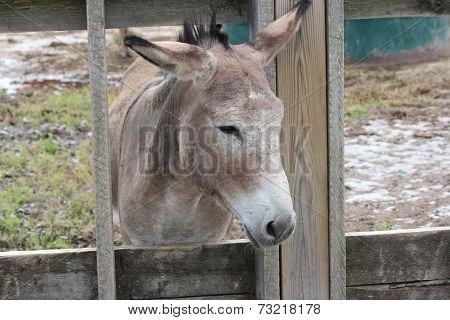 Donkey behind Wooden Fence