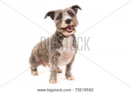 Dandie Dinmont Dog