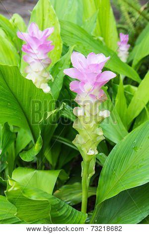 Pink Siam Tulip Flower, Curcuma Alismatifolia