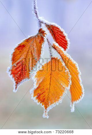 Frozen autumn yellow leaves.
