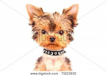 angry puppy with collar