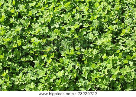 Green Clover