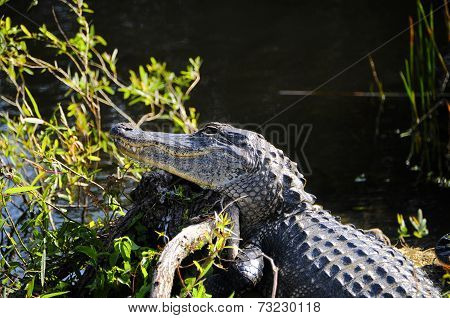 Alligator On A Log