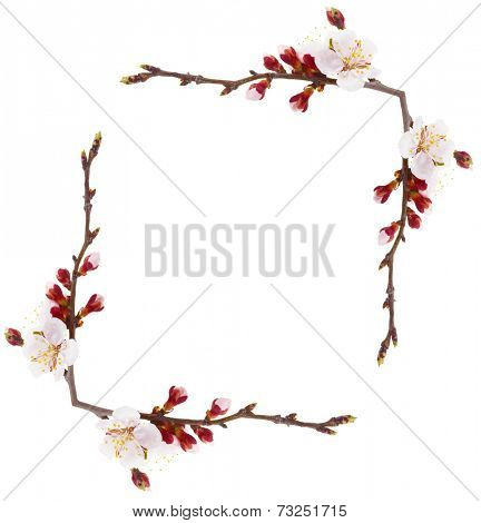Frame of beautiful apricot blossom isolated on white