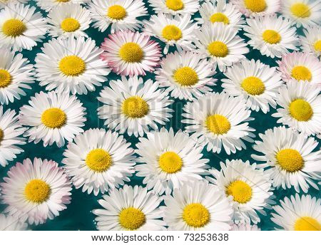 daisy white flower flying clear blue water