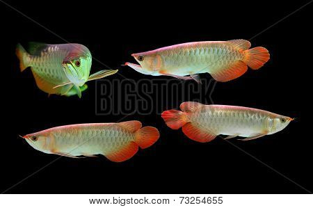 Asian Arowana Fish On Black Background