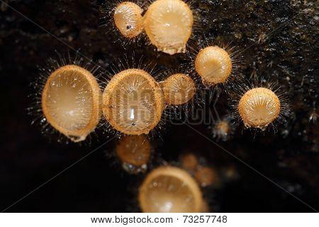 Champagne Mushroom (coat Mushroom Or Mushroom Hair)