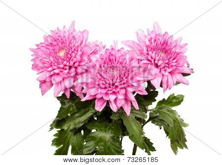 Three Pink Chrysanthemums