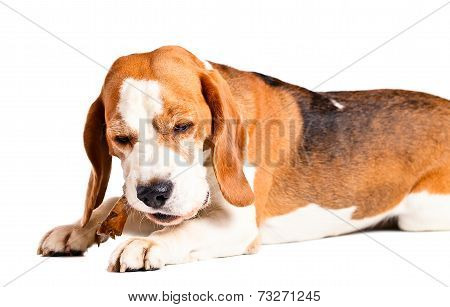 The Dog Gnaws A Bone  , Isolated On White