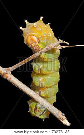 Yellow Haired Caterpillar
