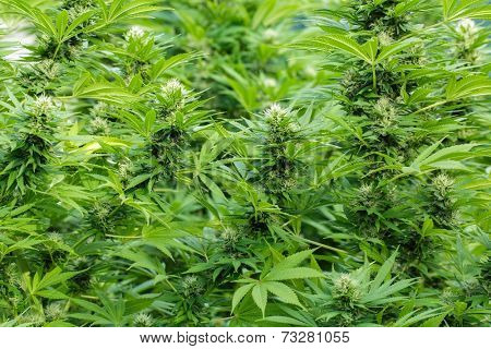 Large Cannabis plants in blossom with THC resin covering leaves