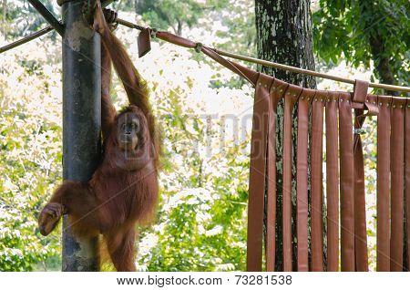 Orang Utan In A Zoo