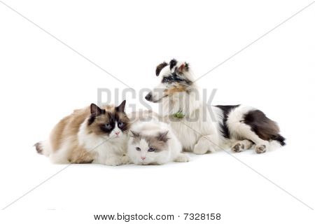 tri color sheltie puppy and two persian cats