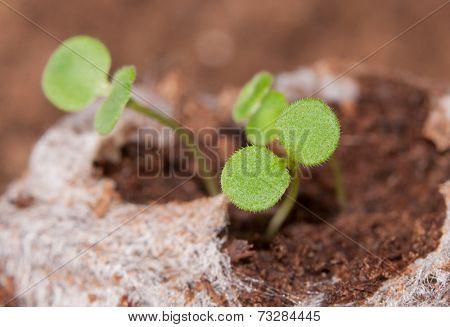 Seedlings growing in a peat moss pellet in spring