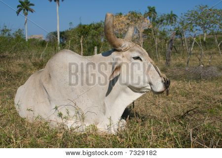 White Bull Resting In The Grass (II)