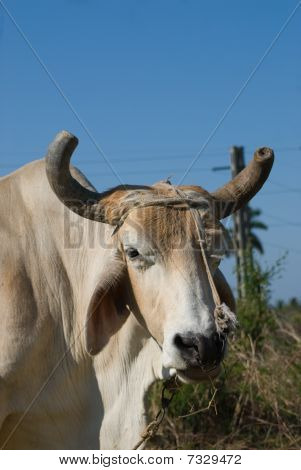 White Bull Head Closeup (III)