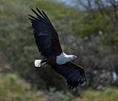 stock photo of fish-eagle  - African fish eagle Naivasha Lake National Park - JPG