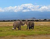 pic of kilimanjaro  - Elephant with Mount Kilimanjaro in the background - JPG
